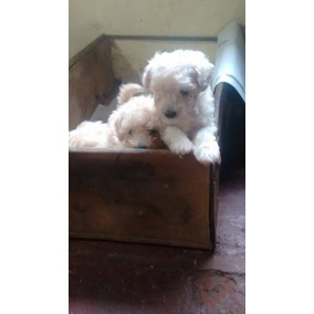 Cachorros Caniches Toy Bien Pequeños
