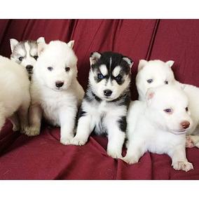 Husky Siberiano Belos Filhotinhos Disponível