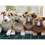 Cachorros Bull Terrier - Pedigree Internacional