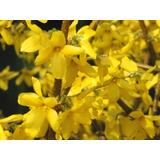 Cultivá Tu Arbusto Forsythia: Se Llena De Flores!!!!