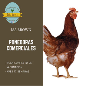 Pollitas Ponedoras Isa Brown 17 Semanas