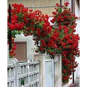 100sementes Rosa Trepadeira Vermelha Raras E Exóticas