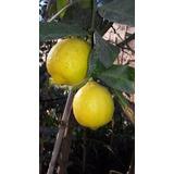 Limoneros 4 Estaciones, ( Ejemplares C/frutos A La Vista.