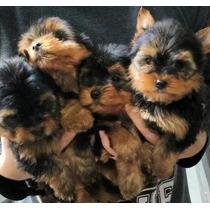 Lindos Filhotes De Yorkshire Terrier (com 3 Doses Da Vacina)