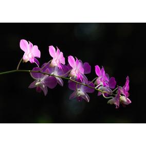Muda De Orquídeas Dendrobium Denphal