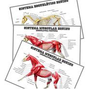 03 Posters Veterinária 65cmx100cm Músculos E Ossos Do Cavalo