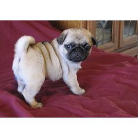 Preciosos Cachorros Pug. Aptos Para Registro.