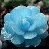 Lithops Azul, Pedra Jade Suculenta 10 Sementes Cacto Exótico