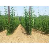 Sobre Para Sembrar 15 Plantas De Lupulo Cerveza Artesanal