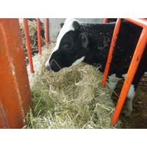 Vacas Y Becerras Jersery, F-1 , Holstein, Suizo Americano.