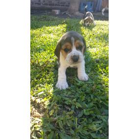 Cachorros Beagle Tricolor Con Fca