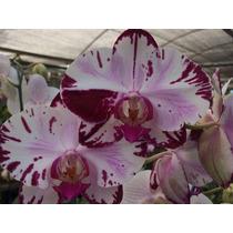 Orquidea Phalaenopsis Exoticos.