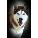 Husky Siberiano Hermosos Cachorros Raza Pura