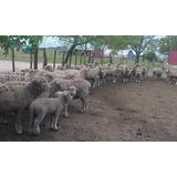 35 Ovejas Con Corderos