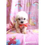 Poodle Microtoy Cachorros