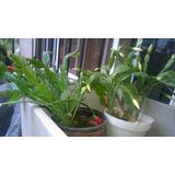 Cactus Santa Teresita