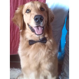 Golden Retriever Macho Para La Monta