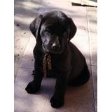 Cachorros Labradores Puros