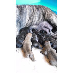 Cachorros De Presa Canario Padre Importado $ 10000