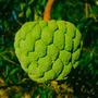Muda Noni (fruta Do Conde)