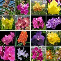 Kit 10 Lindas Mudas Orquídeas Vanda Pré Adulta