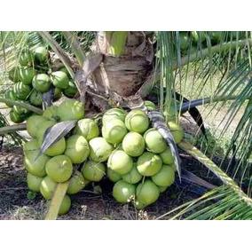8 Mudas Coqueiro Coco Anao Certificado Verde Frete Gratis