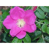 Cultivá Tu Planta De Rosa Mosqueta!! Frutal Y Ornamental!