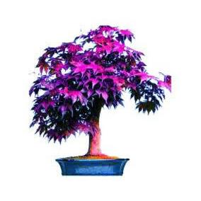 10 Sementes Acer Purple Roxo Árvore Bonsai Plantas Gramas