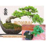Árboles Bonsai En Zona Sur (adaptado A Interior)
