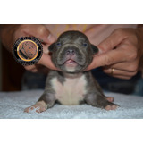 Pitbull Blue Criadero Age Of Meka