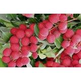 Muda De Lichia - Fruta Lixia