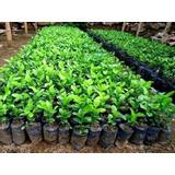 Plantas Limon Swinglea Para Cerca Viva / Jardineria