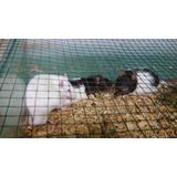 Ratas De Criadero - Chicas