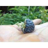 Frambuesa Azul Frambuesa De La India Plantines Frutales Raro