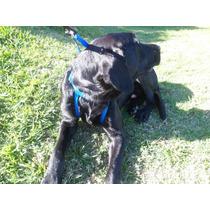 Peitoral Anti-puxão Para Cães Que Puxam Nos Passeios