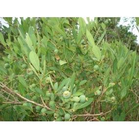 20 Mudas De Guavira (gabiroba Arbusto) - Frete Grátis