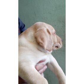 Hermosas Cachorras Labrador