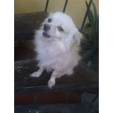 Chihuahua Pomerania Busca Novia