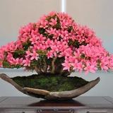 20 Sementes Cerejeira Sakura Rosa +10 Pinheiro Negro Japonês
