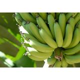 3 Rizomas Banana Nanica Produz Muito Mudas 30 Centímetros