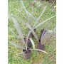 Palmeira Azul, Bismarckia - 50cm