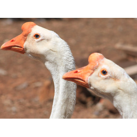 Ovos Férteis (galados) De Ganso Sinaleiro Chinês