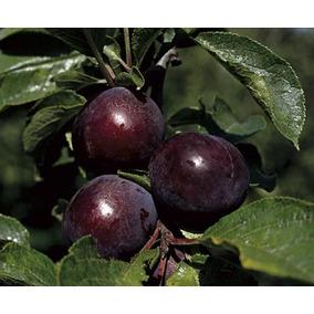 Venta arbol de ciruela jobo en mercado libre m xico for Ciruela santa rosa