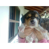 Perros Cachorros Beagle