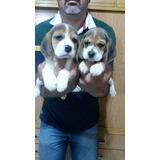 Hermosos Cachorros De Beagles
