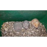 Hamster Diversas Lineas