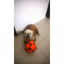 Cachorro Bull Dog Ingles