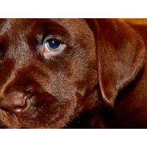 Labradores Cachorros Chocolates Criadero Calquin