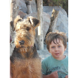 Airedale Terrier, Cach, 9 Meses P/entendidos C/ Pedigree Fca