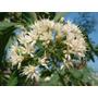 Assa-peixe (vernonia Polysphaera) - 04 Estacas Sem Raízes